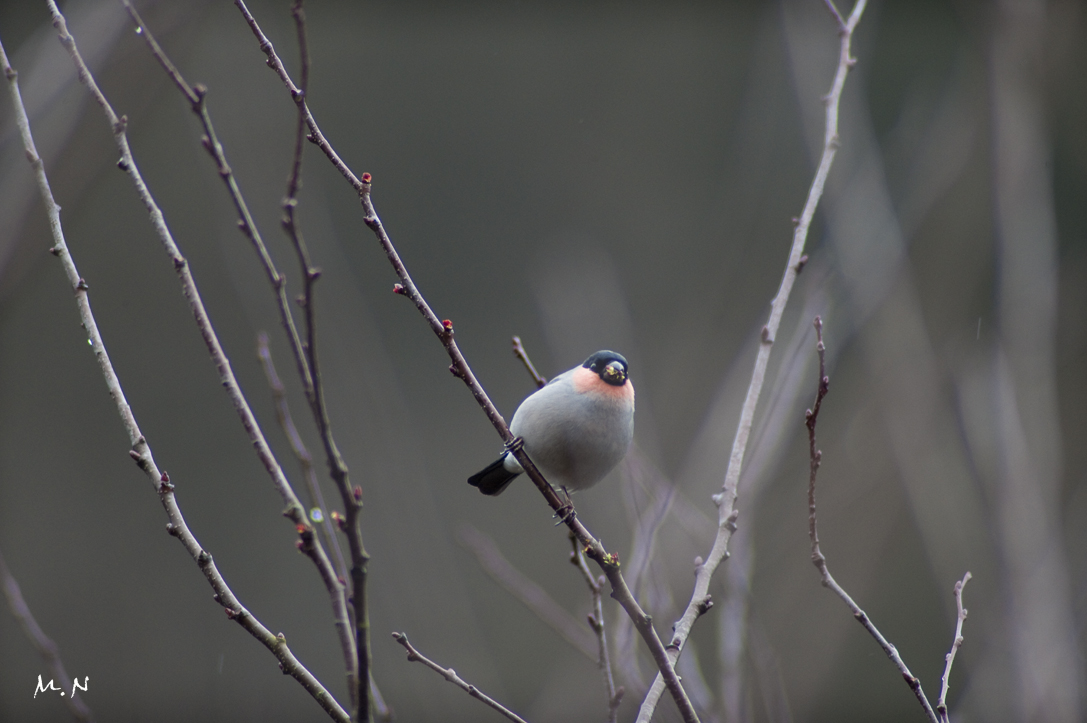 Bullfinch_002