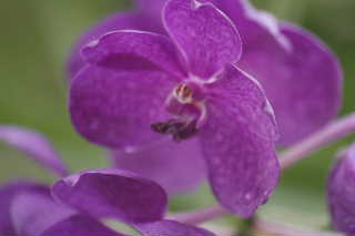 Vandaの花