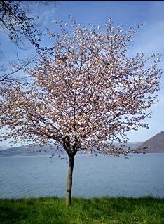 洞爺湖畔に咲く桜