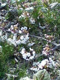 折れた枝に咲く桜