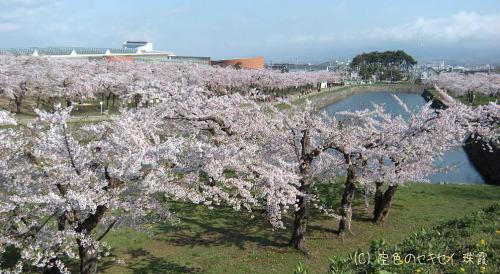 五稜郭の桜は有名です