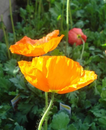 Iceland Poppy-07