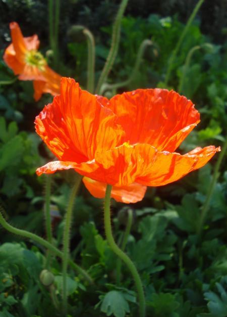 Iceland Poppy-09