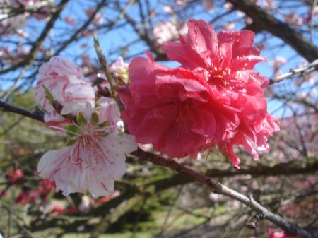 FLOWERING PEACH04