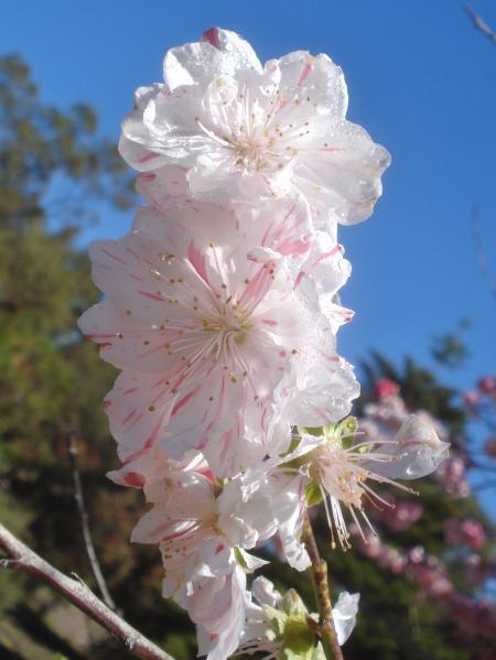 FLOWERING PEACH-05