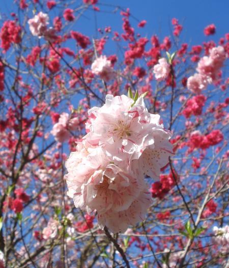 FLOWERING PEACH-06