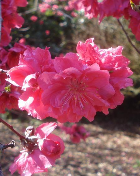 FLOWERING PEACH-12
