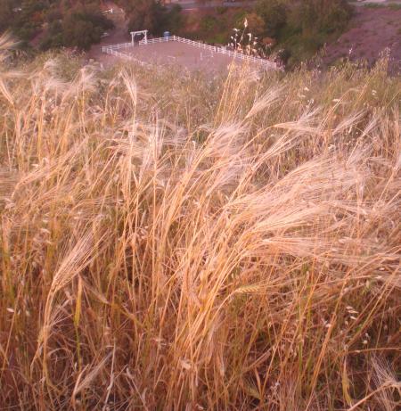 麦の道-04