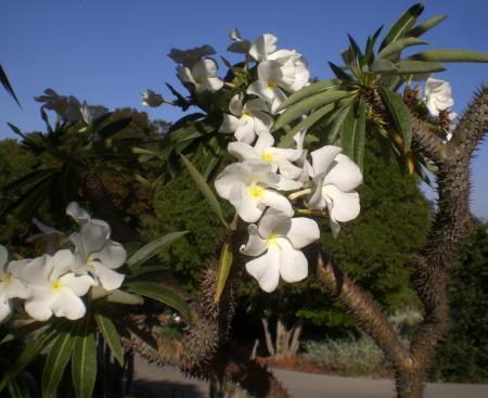 Madagascar Palm -02