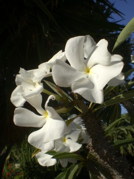 Madagascar Palm -03