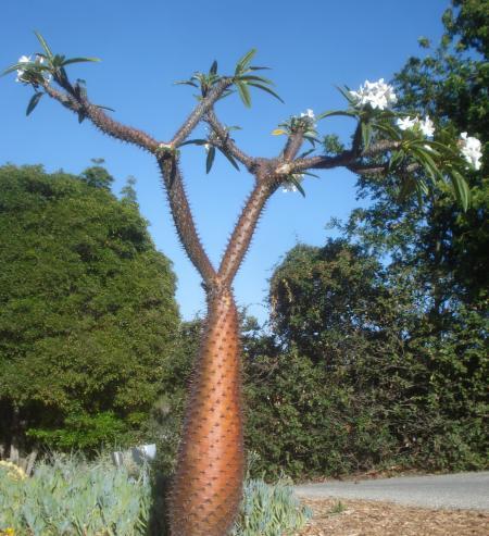 Madagascar Palm -04