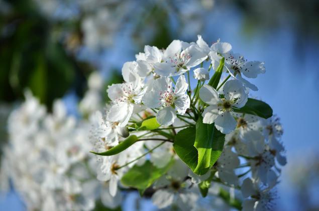 Flowering Pear-02