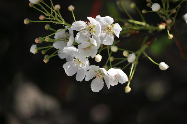 Flowering Pear-01