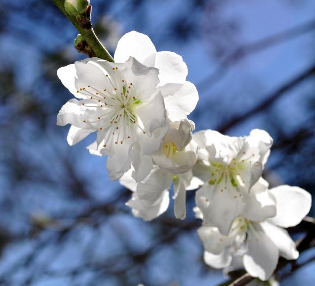 White Flowering Peach