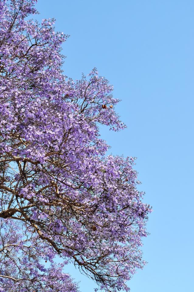 シウンボク(紫雲木)-02