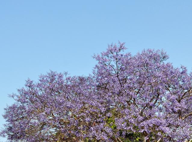 シウンボク(紫雲木)-01