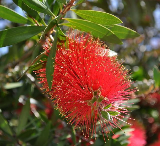 Bottlebrush-01