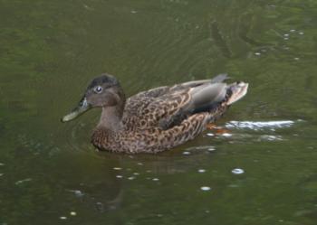 コロアDuck (絶滅きき)