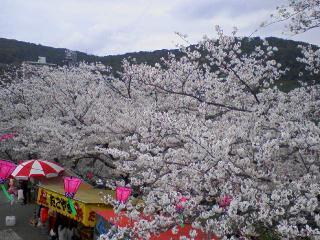 立山公園桜