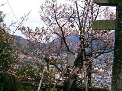 元日桜(西山神社)