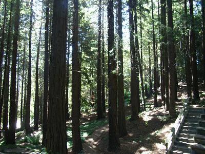 Redwoodの森
