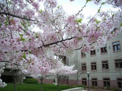 CC-Sakura