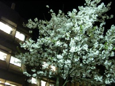 春の夜桜よ、パッと散りそな
