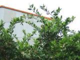 竹原音頭を踊るみかんの樹