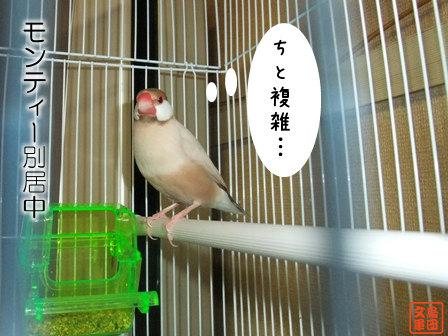 文鳥 031
