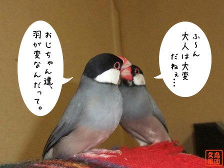 文鳥 016