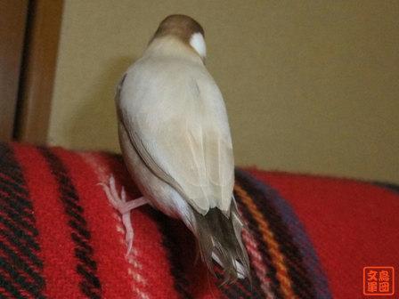 文鳥 003