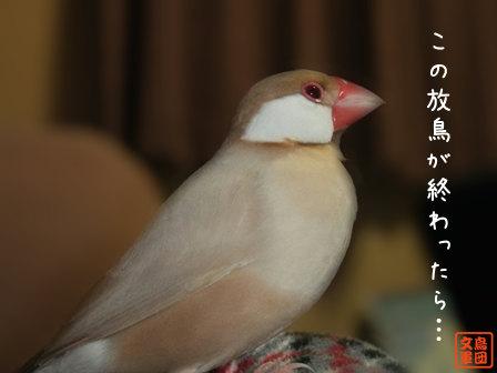 文鳥 004