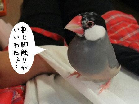 文鳥 005