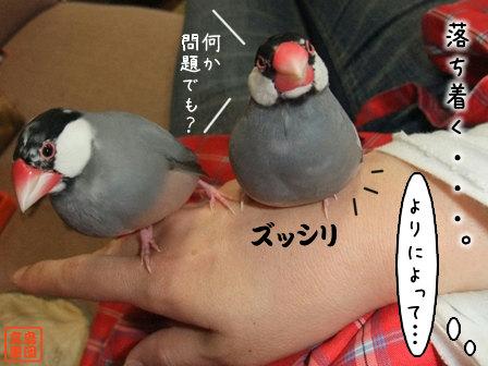 文鳥 006