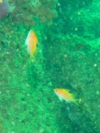 blog_サクラダイの幼魚250709