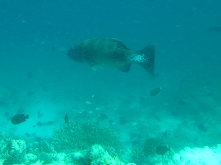 blog_Black-saddleCoralGrouper020909.jpg