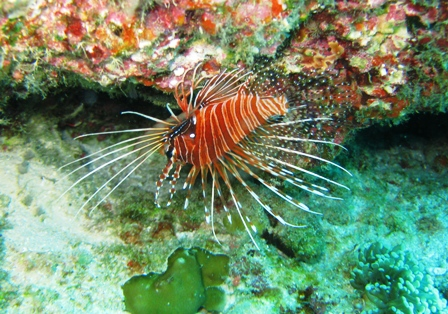 blog_SpotfinLionfish020909.jpg