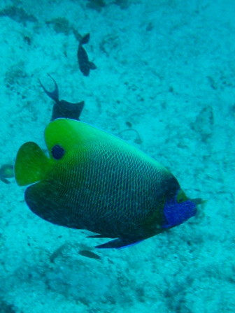 blog_blue-faceAngelfish310809.jpg