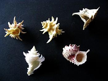 日本深海の貝