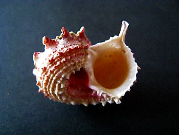 日本深海の貝5