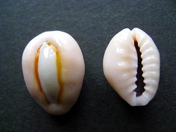 ビャクレンタカラ貝
