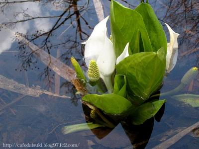 びっき沼の水芭蕉