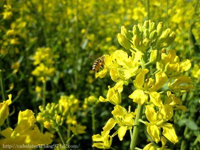 明治の森・道の駅◇ミツバチと菜の花