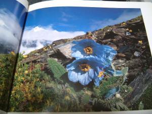 ヒマラヤのケシの花1