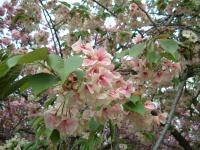 一重のきれいな桜