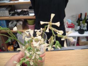 ルッコラノ花