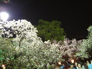 桜の通り抜け出口