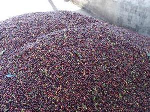 コンティニ農園の赤い実