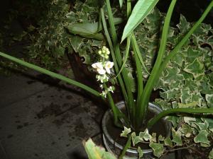 クワイの花2