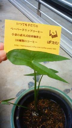 クワイの成長1